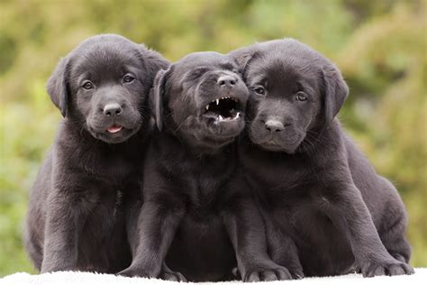 maine lab puppies panel pooh poohs labrador retriever maine s state the portland press