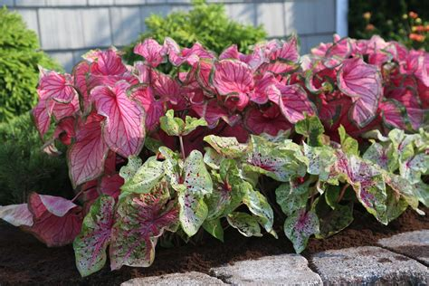 landscaping made easy with caladiums longfield gardens