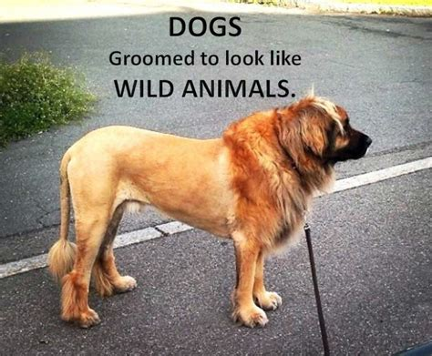 how to a to like other dogs 11 dogs that groomed to look like other animals hubpages