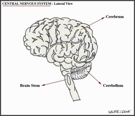 basal ganglia diagram basal wiring diagram and circuit