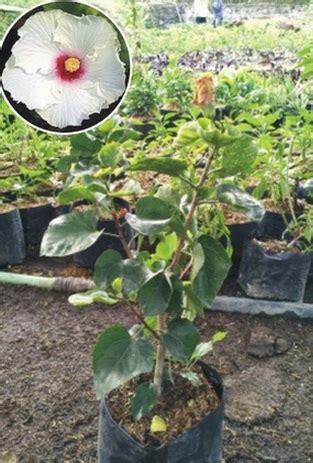 Tanaman Hisbiscus tanaman white hibiscus jual tanaman hias
