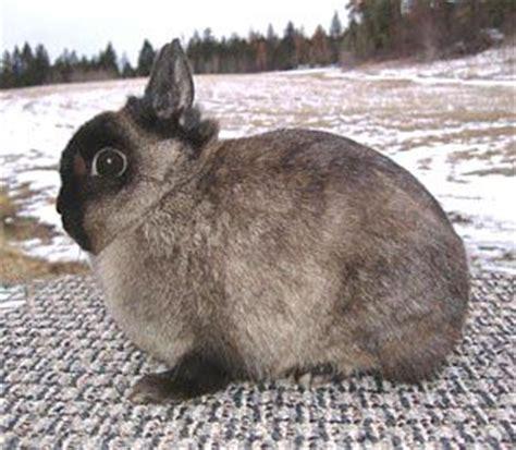 netherland rabbit colors 25 best ideas about netherland on