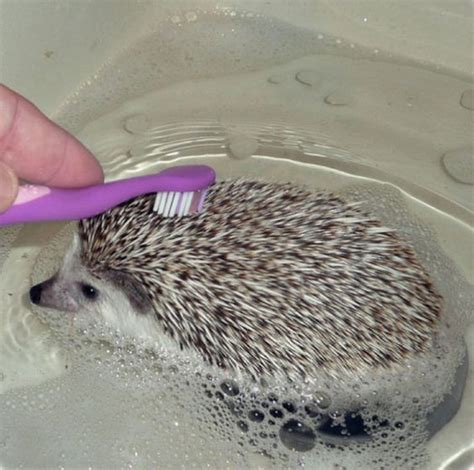 hedgehog bathtub how do you give a hedgehog a bath very carefully mind