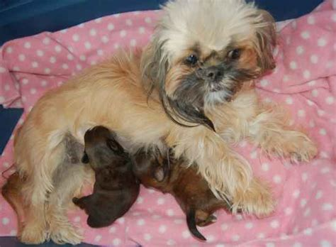 mahogany shih tzu hairstyles shih tzu hair color changes wonder why these changes occur