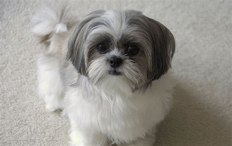 gray shih tzu gallery of pictures of shih tzu on animal picture society