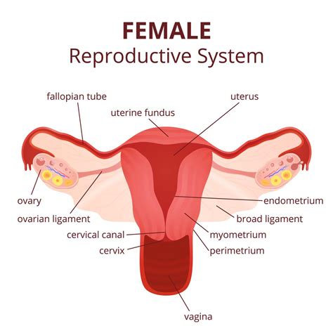 diagram reproductive organs labeled diagram of the reproductive system and its