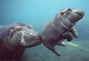 Hippo L hippos san diego zoo s funani meets otis from los angeles zoo l a unleashed los angeles times