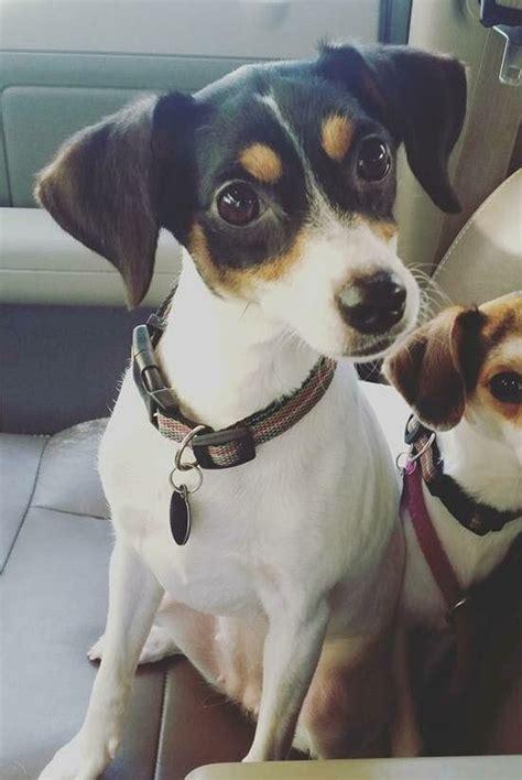 rat terrier puppies for adoption 25 best rat terrier dogs ideas on rat terriers rat and rat terrier