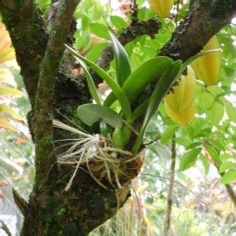 Bibit Anggrek Hutan anggrek horteens dunia tanaman hias