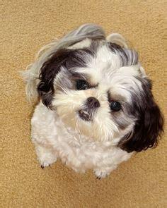 how much does a shih tzu cost shih tzu on shih tzu shih tzu puppy and shih tzus