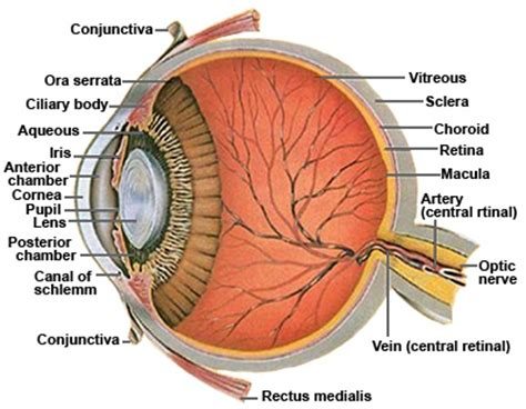 cross section of the human eye glaucoma surgery istent