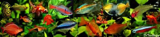 Aquarium Fish, Tropical Fish, and Goldfish for sale   AquariumFish.net