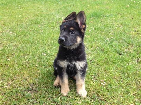 k9 puppy puppies for sale family protection dogs k9 security