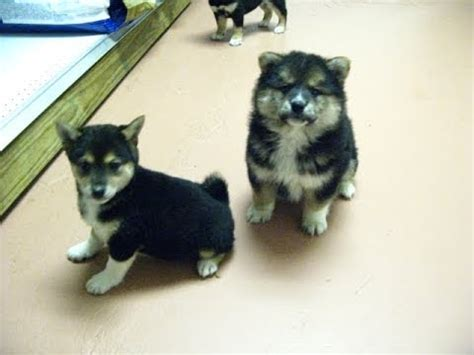 shiba inu puppies for sale california shiba inu for sale california images