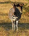 quagga software wikipedia file equus quagga chapmani front view jpg wikipedia
