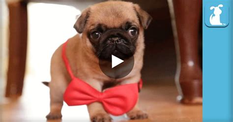 baby pug monkey this baby pug be introduced to his friends you won t believe how he is omg