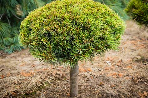 dwarf eastern white pine tree for sale online the tree