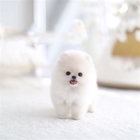 tiny teacup pomeranian tiny teacup pomeranian posh pocket pups