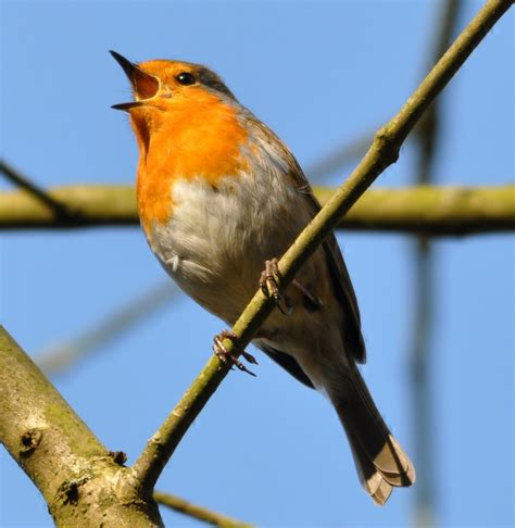 heavy metal songs contaminated songbirds sing the wrong
