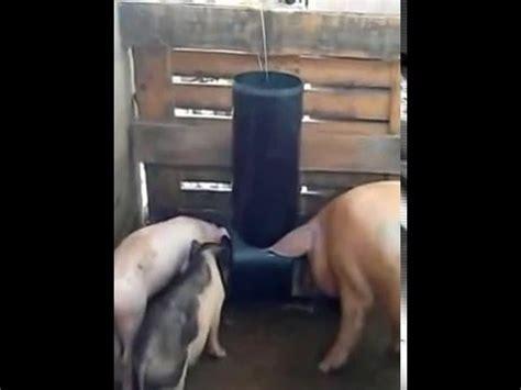 cochera de marranos comederos para cerdos y lechones youtube