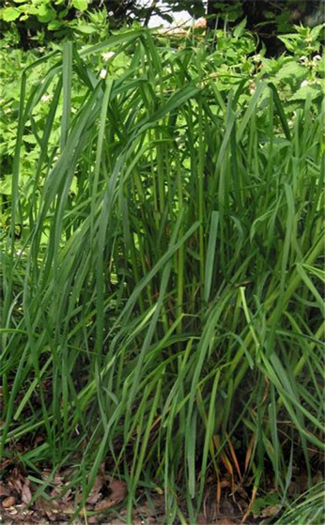 grasses weeds poisonous plants  animal files