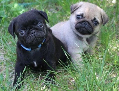 pug breeder perth pug puppies for sale