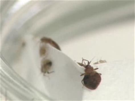 do bed bugs get in your hair bed bugs in dreadlocks woman forced to cut hair because of the critters