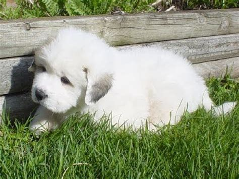 puppies for sale in macon ga great pyrenees puppies dogs for sale in columbus macon ga athens