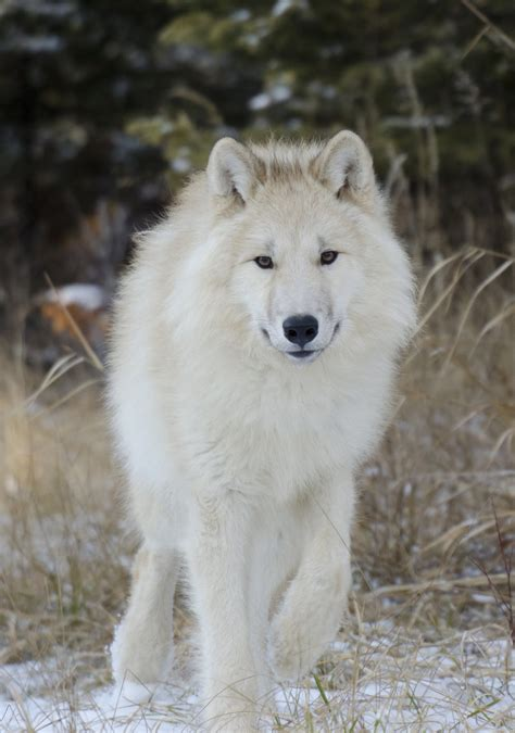 arctic wolf puppies pin white wolf puppies for sale on