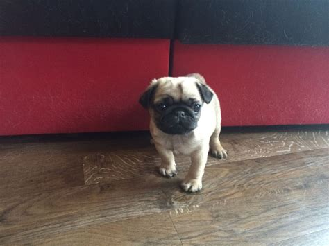 pugs for sale in illinois pin pug for sale pugs elgin illinois on