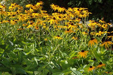 Pot Sepeda 6 By Sun Florist gew 246 hnlicher sonnenhut der boden sollte trocken und gut