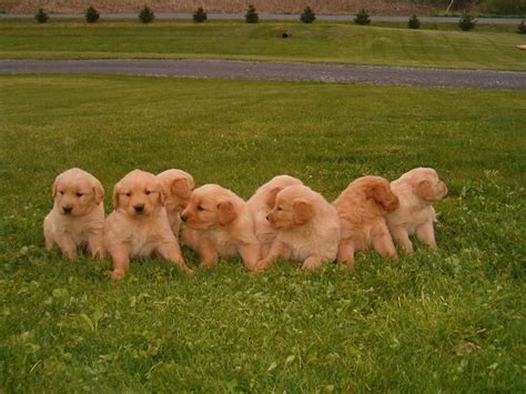 golden retriever puppies chicago gold hunt look for missing golden retriever puppy news dailyitem