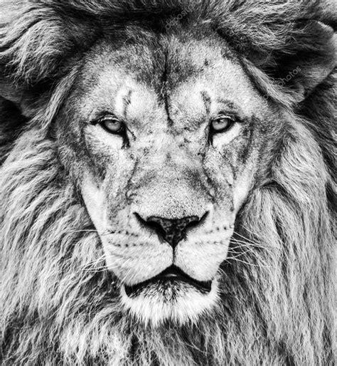 imagenes de leones a blanco y negro retrato de le 243 n africano hermosa en blanco y negro foto