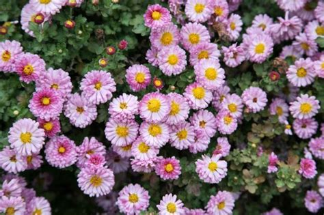 beautiful type of annual flowers in pink with yellow center jpg hi res 720p hd
