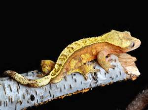 extreme cresties our crested gecko breeder gallery page