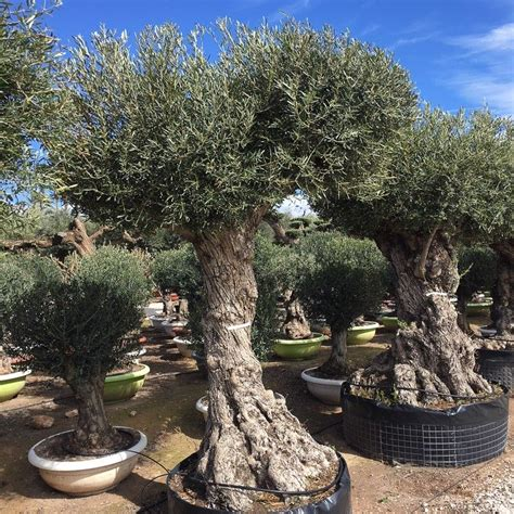 ancient olive trees olea europaeafor salefrom  palm