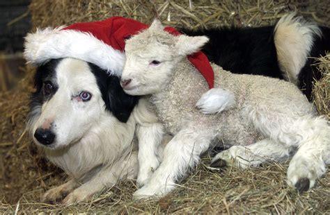 animals love christmas richardaustinimages