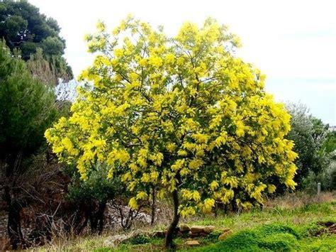 foto mimosa fiore albero di mimosa foto di le mimose di falanga e