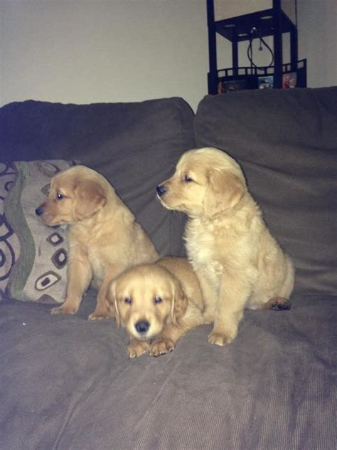 golden retriever for sale toronto ready to go golden retriever pups for sale in brockville ont outside ottawa