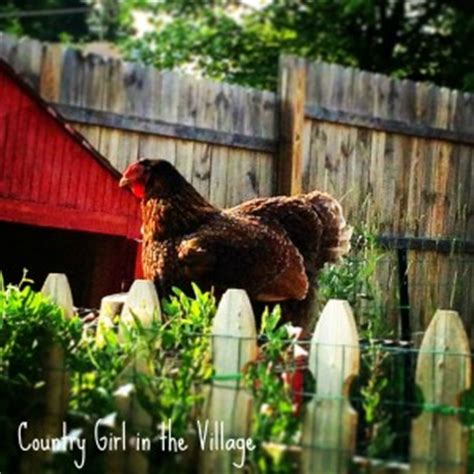 Backyard Chickens Nuisance Fly Spray Community Chickens