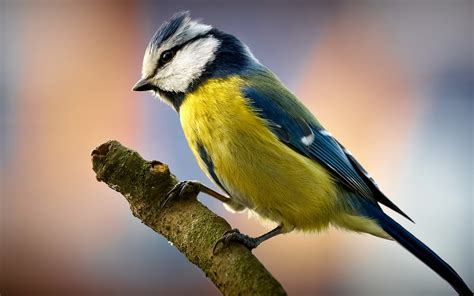 bird on a branch wallpapers and images wallpapers