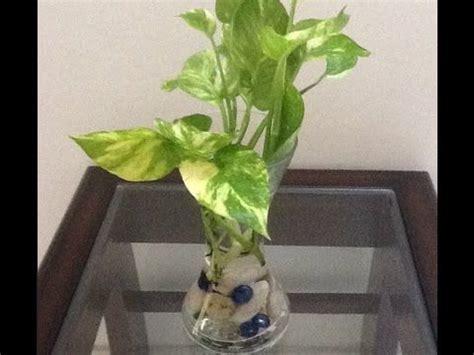 money plant in bathroom best 25 money plant in water ideas on pinterest dirt
