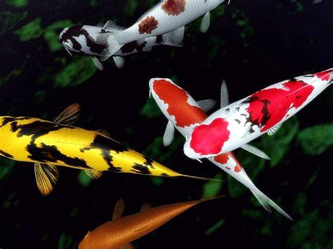 Makanan Ikan Hias Untuk Warna mencerahkan warna koi dengan spirulina akuarium ikan hias