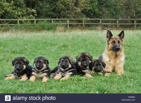 how many puppies are in an average litter litter of german shepherd puppies www pixshark images galleries with a bite