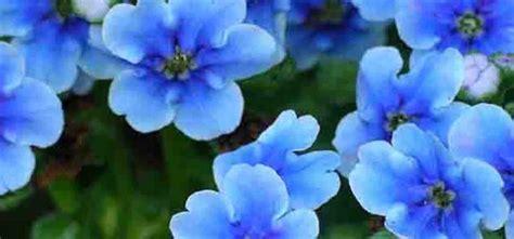 fiore nontiscordardime non ti scordar di me silviadeifiori