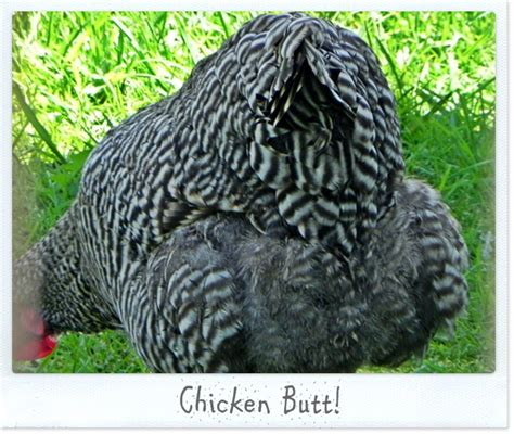 Chicken Butt Meme - wordless wednesday what s up a hen s nest nw pa mom
