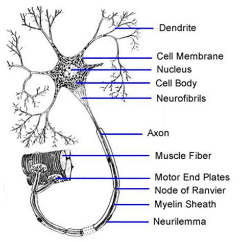 motor neurom motor neuron the school of biomedical sciences wiki