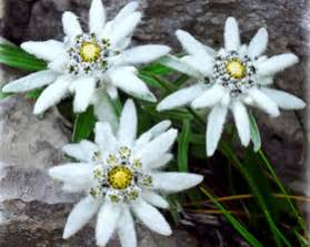 Daisy Flowers For Sale - edelweiss alpinum helios seedspro perennials