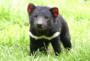 39 why does the tasmanian devil have 20 offspring but