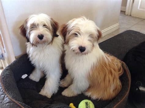 tibetan terrier puppies araki puppies araki tibetan terriers